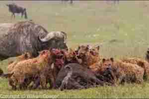 Video: TOP 10 HYENAS ATTACK || Hyenas vs Cheetah, Wild Dogs, Buffalo, Wildebeest,...